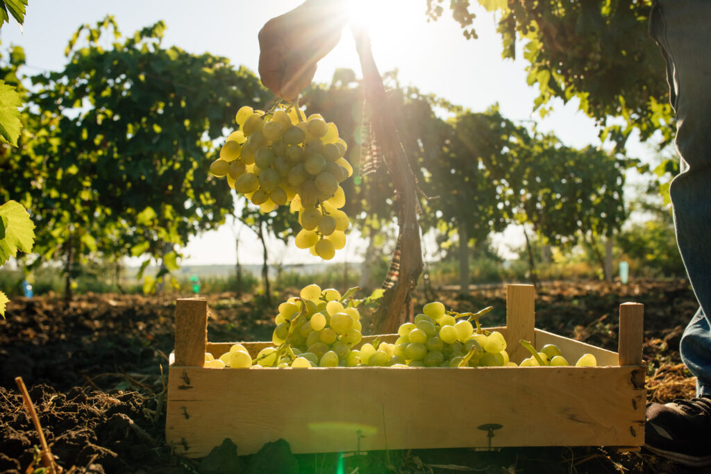 Close,Up,Of,Worker's,Hands,Cutting,White,Grapes,From,Vines
